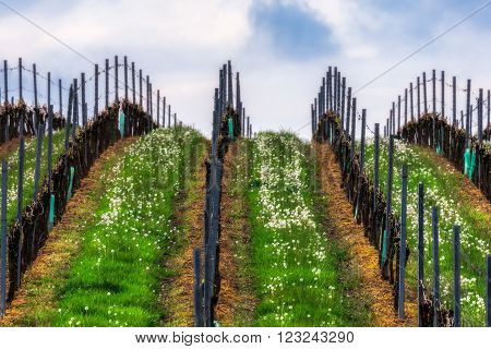Czech Republic. South Moravia. Vineyards in the spring.