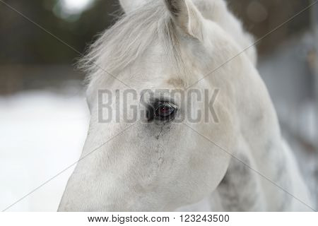 white horse's eyes with long eye lashes close up