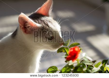 Little kitten sniffing flower in the garden