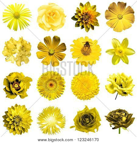 Mix Collage Of Natural And Surreal Yellow Flowers 16 In 1: Peony, Dahlia, Primula, Aster, Daisy, Ros