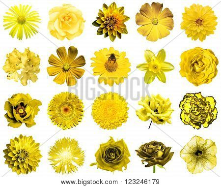 Mix collage of natural and surreal yellow flowers 20 in 1: peony, dahlia, primula, aster, daisy, rose, gerbera, clove, chrysanthemum, cornflower, flax, pelargonium isolated on white