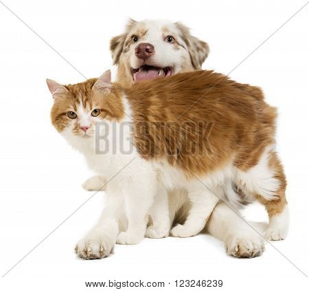 Kuril Bobtail and Australian Shepherdon white background