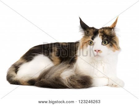 Kuril Bobtail on a white background in studio