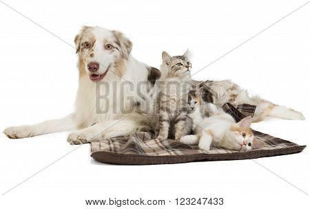 Kuril Bobtail and Australian Shepherdon on white background