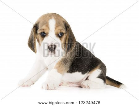beagle puppy on a white background in studio