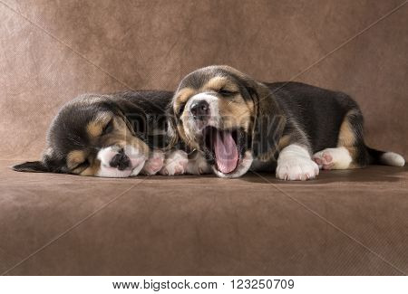 beagle puppy on a brown background in studio