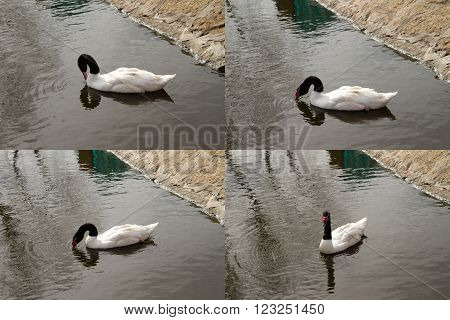Collage of a white swan with black feathers on the neck