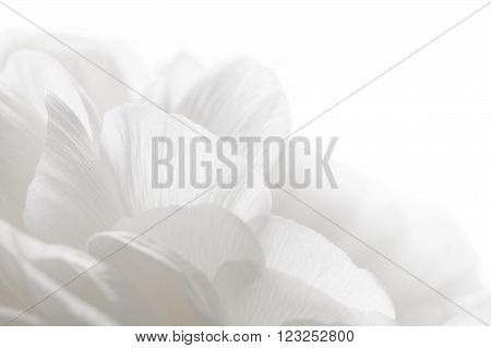 a full frame abstract white petals closeup
