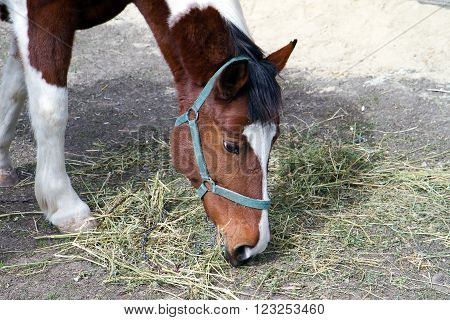 Farm Horse eats grass in the paddock