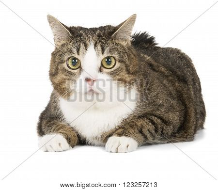 fat cat on a white background in studio