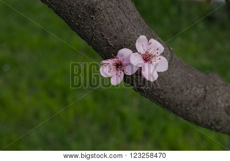 two solitary apricot flowers on a branch