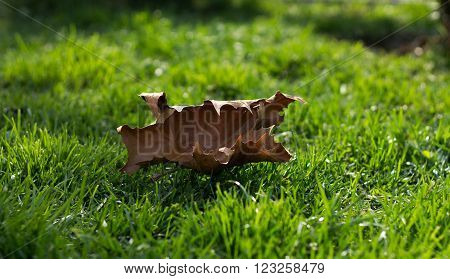 a dry leaf in autumn remainder of green grass spring