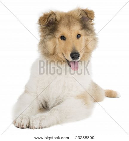puppy collie on white background in studio