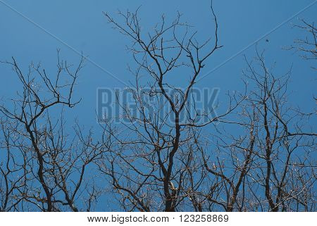 a quirky splayed oak branch on blue sky background