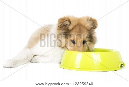 Collie puppy with a bowl on a white background in studio