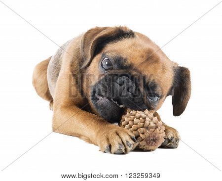 dog with fir-cone on a white background in studio