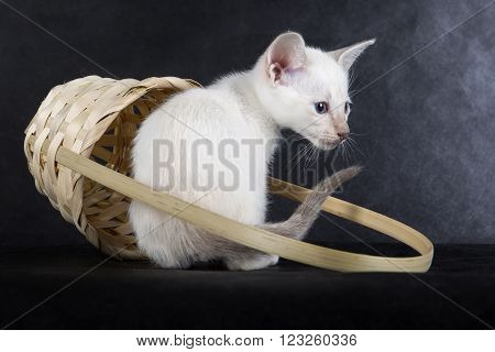 kitten in a basket on a gray background in studio