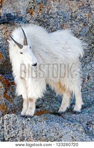 Mountain Goat on Harney Peak rock ledge in Custer State Park in the Black Hills of South Dakota USA