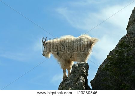 Mountain Goat atop Harney Peak spire in Custer State Park in the Black Hills of South Dakota USA