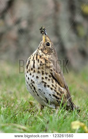 Song thrush (Turdus philomelus) with snail in beak. A songbird with beak raised with snail that has had shell removed, about to be swallowed