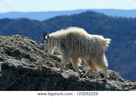 Mountain Goat on Harney Peak in Custer State Park in the Black Hills of South Dakota USA