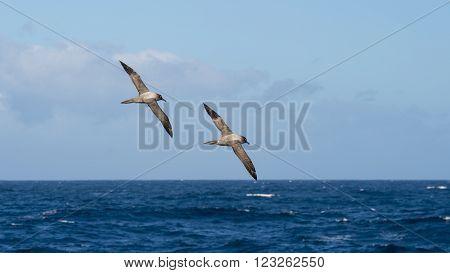Two Light-mantled sooty Albatross flying in Drake Passage
