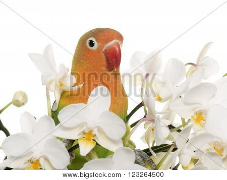 Young fischeri lovebird in front of white background ** Note: Soft Focus at 100%, best at smaller sizes