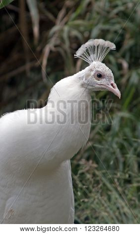 Albino Peacock in mountains outside Adelaide Australia AUS