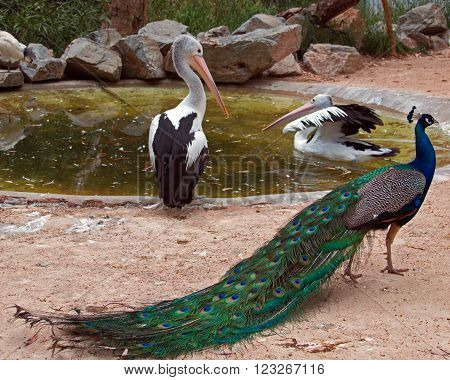 Blue Green Iridescent Male Peacock showing off in front of two Australian Pelicans in the Mountains near Adelaide Australia