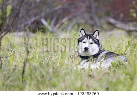 Siberian Husky on the grass in the park