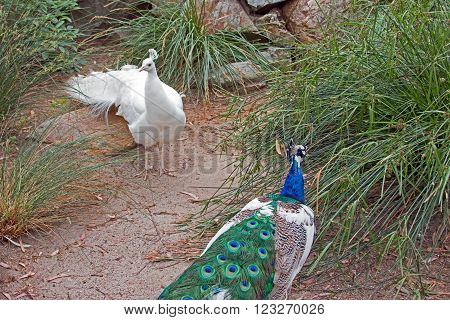 Peacock And Albino Peacock In Adelaide Australia