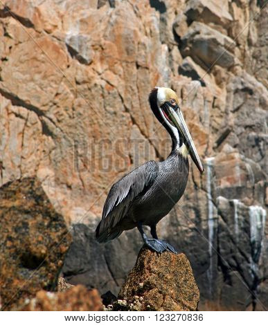Pelican perching on Los Arcos (The Arches) at Lands End on Cabo San Lucas Baja Mexico