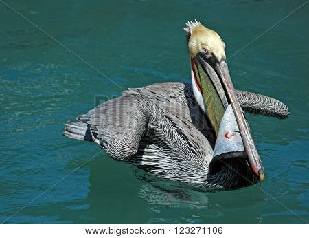 Pelican swimming in Cabo San Lucas Baja Mexico harbor with swordfish skin in bill / beak