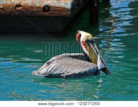 Pelican swimming in Cabo San Lucas Baja Mexico harbor with swordfish skin in beak