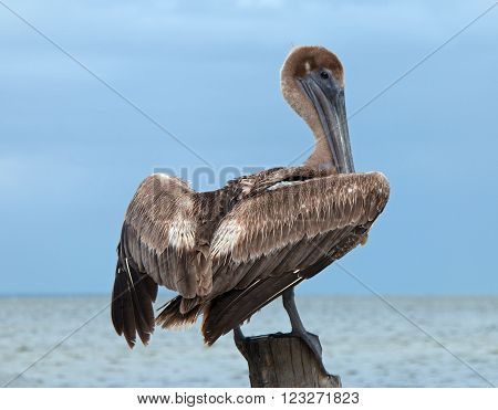 Pelican perching on boat dock wooden post on the small peninsula called Isla Blanca between Chacmuchuk Lagoon and the Caribbean near Cancun Mexico