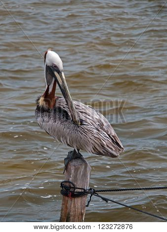 Pelican preening on boat dock wooden post on the small peninsula called Isla Blanca between Chacmuchuk Lagoon and the Caribbean near Cancun Mexico
