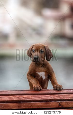 Beautiful dog rhodesian ridgeback hound puppy outdoors on a field