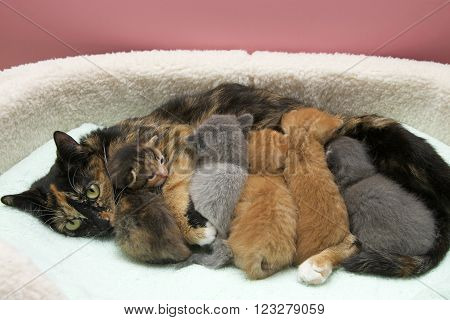 Mother torbie tortie tabby cat nursing five one week old kittens in a small pet bed with light green blanket