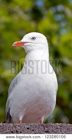 Seagull in Melbourne near Yarra River in Victoria Australia