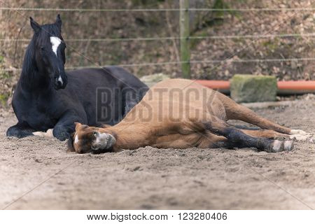 two Horses lay down to sleep outside