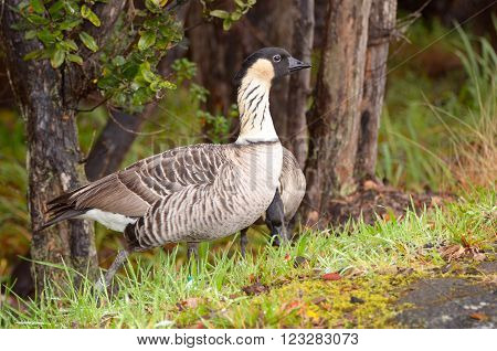 Nene is Hawaii's state bird. Big Island, Hawaii, USA. It is a federally protected species.