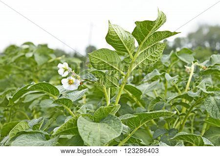 Potato Field During Flowering Period