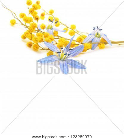 snowdrops and mimosa isolated on a white background. Spring floral background