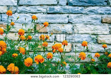 Marigolds against stone wall in Nepal