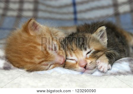 Male Orange Tabby Kitten Sleeping Next To Sister Tortie Torbie Kitten