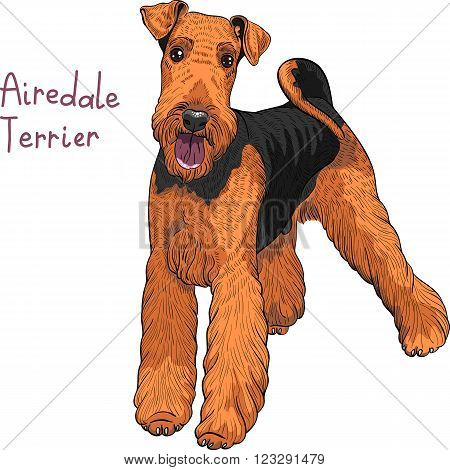 color sketch of the dog Airedale Terrier breed