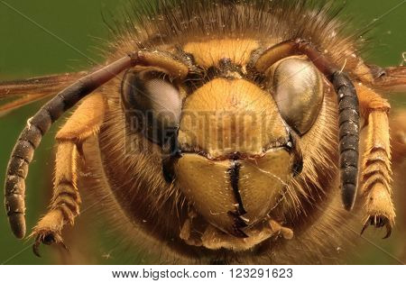 Median Wasp on green Background  -  Dolichovespula media (Retzius,1783)