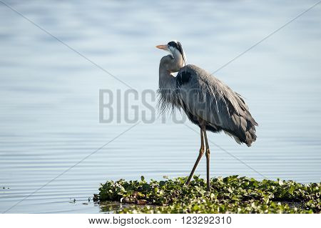 Plumage on Great Blue Heron (Ardea herodias)