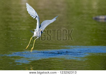 Great Blue Heron flies away with small fish