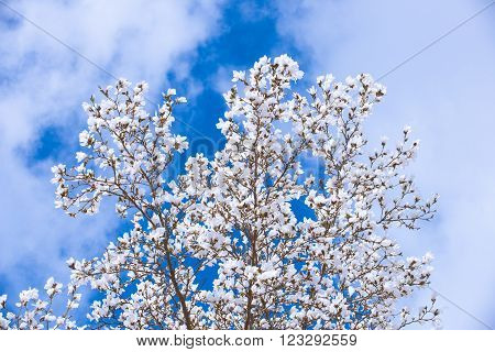 White Magnolia Flowers In Spring, in front of blue sky ** Note: Visible grain at 100%, best at smaller sizes